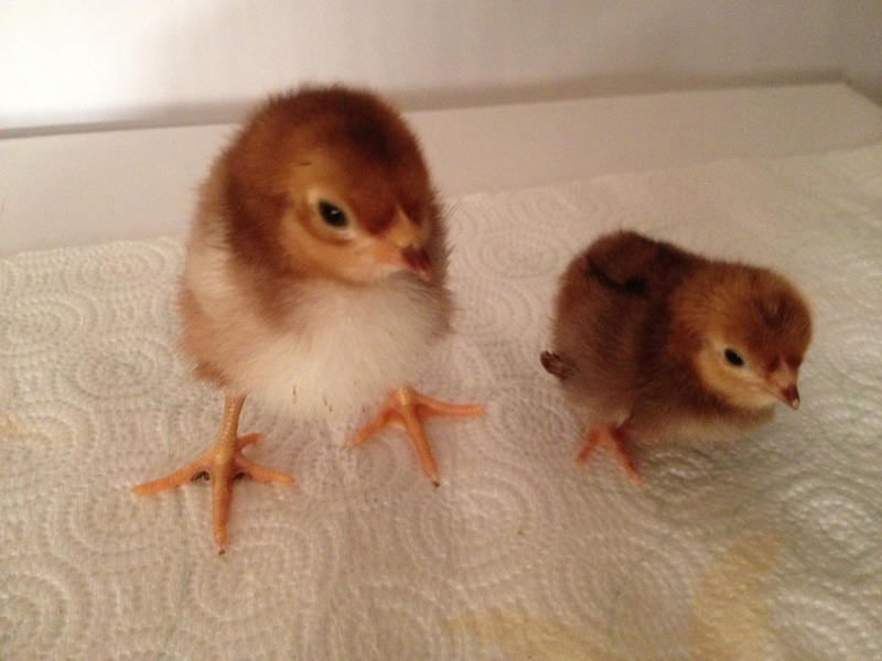 LF and Bantam Chicks Day old